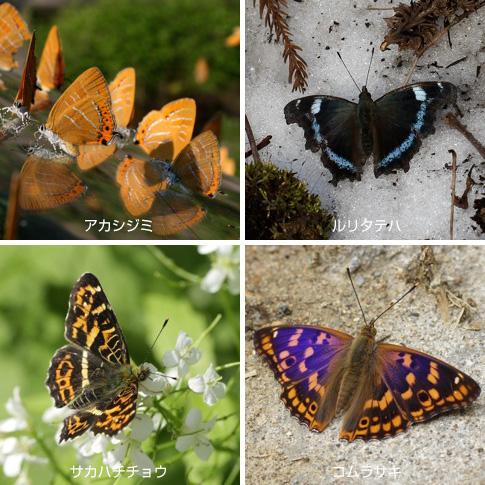 写真:白神山地の蝶